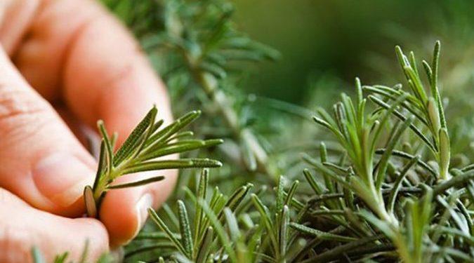 Rozmarina, bima që bën mrekulli për mushkëritë, depresionin …