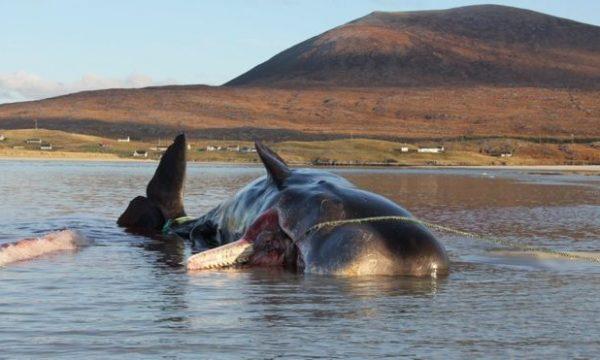 Balenës së ngordhur i nxirren nga barku 100 kilogramë hedhurina